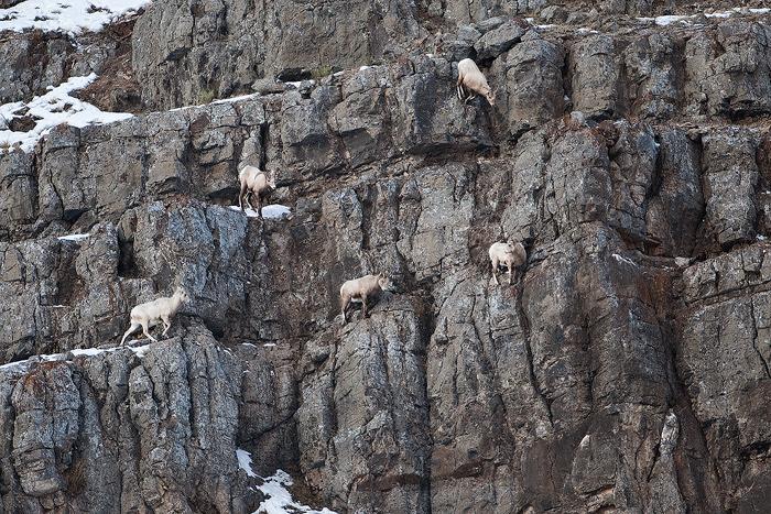 wyoming, rocky, mountain, bighorn, sheep, cliff, national elk refuge